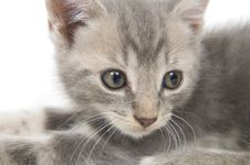 Free Face Of Gray Kitten Royalty Free Stock Photos - 3579128