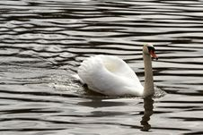 Free Swan On The River Stock Photo - 3579570