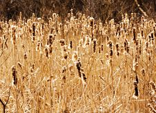 Free Bulrush In Autumn Stock Photography - 3579582