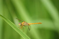 Free Yellow Dragonfly Royalty Free Stock Images - 35708369