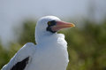 Free Galapagos Masked Booby Stock Images - 35708404