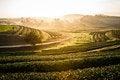 Free A Row Tea Plantation In Morning Sunrise Royalty Free Stock Photo - 35715065