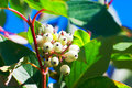 Free A Cluster White Fruit _ Autumnal Scenery Royalty Free Stock Images - 35715079