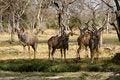 Free Bachelor Herd Of Kudu Royalty Free Stock Photography - 35718597