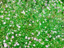Free Baby's Breath Stock Photography - 35713222