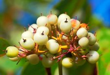 A Cluster White Fruit Royalty Free Stock Photography