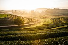 Free A Row Tea Plantation In Morning Sunrise Royalty Free Stock Photo - 35715065