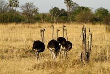 Free Ostrich Stag Herd Stock Photography - 35717782