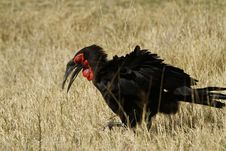 Free The Southern Ground Hornbill Stock Photos - 35718033