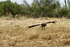 Free White-Backed Vulture In Flight Stock Image - 35718091
