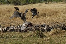 Free A Venue Of Old World Vultures Royalty Free Stock Photos - 35718348