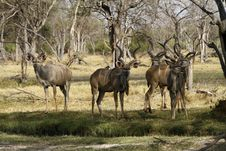 Free Bachelor Herd Of Kudu Royalty Free Stock Photography - 35718597
