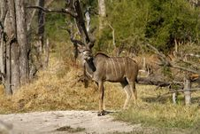 Free Greater Kudu Bull Stock Photography - 35718782