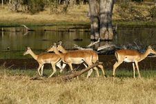 Free Impala Herd Stock Photos - 35719163