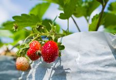 Free Strawberry Farm Royalty Free Stock Photography - 35720487