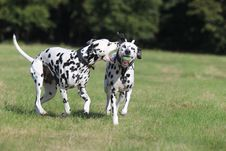 Two Dalmatians Playing In The Park Stock Photo