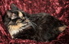 Free Fluffy Tortoiseshell Cat Stock Photography - 35724842