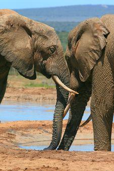 Free Elephants Nuzzling Stock Photos - 35756503