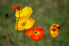 Free Red Yellow Poppy Flowers Royalty Free Stock Images - 35756919