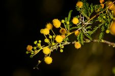 Free Thorny Acacia Karoo With Yellow Flowers Stock Photos - 35757143