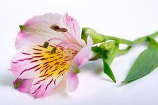 Free Flower Bud Royalty Free Stock Photos - 35757608