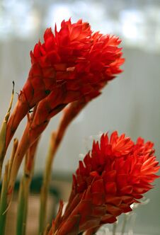 Free Red Ginger Flowers Royalty Free Stock Photography - 35774327