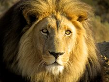 Free Golden Lion Leo Panthera Stock Image - 35775611