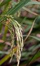 Free Rice Stock Photos - 35781703