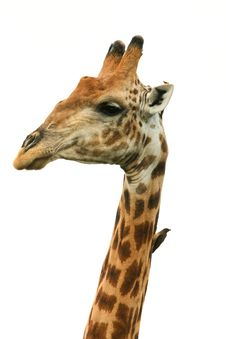 Free Giraffe Head Isolated Giraffa Camelopardalis Stock Photo - 35780820