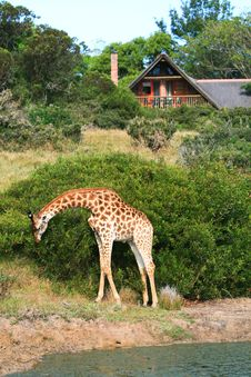 Free Giraffe Outside Game Lodge In South Africa Royalty Free Stock Photography - 35780897