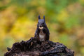 Free Squirrel Royalty Free Stock Images - 35797759