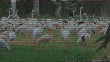 Free Flamingo Birds Royalty Free Stock Images - 35792019