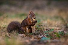 Free Squirrel Royalty Free Stock Photos - 35797328