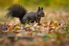 Free Squirrel Stock Photo - 35797720