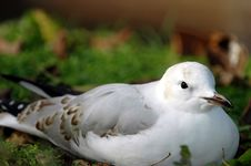 Seagull On Land Royalty Free Stock Image