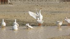 Free White Geese Royalty Free Stock Image - 3580506