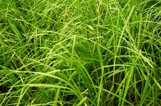 Free Tall Green Grass Stock Photo - 3580710