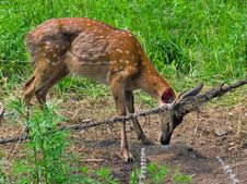 Free Deer In Net 4 Stock Photo - 3581130
