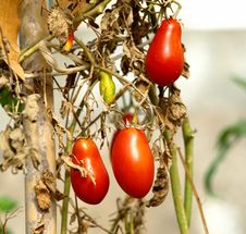 Free Tomato Royalty Free Stock Images - 3584789