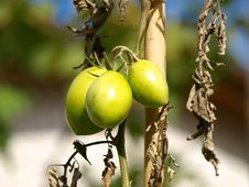 Free Tomato Stock Images - 3584854