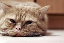 Free Cat Face Royalty Free Stock Photos - 3585288