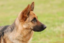 Free German Shepherd Dog Royalty Free Stock Photo - 3585825