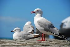 Free Sea Gulls Stock Photos - 3587303