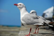 Free Sea Gulls Royalty Free Stock Photo - 3587305