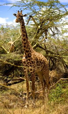 Free African Giraffe Royalty Free Stock Images - 3587819