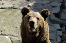 Free Brown Bear In Zoo Stock Photos - 3588273