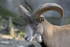 Free Wild Goat In Zoo. Stock Photography - 3588282