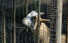 Wild Goat In Zoo. Stock Photos