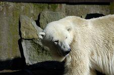 Free White (polar) Bear In Zoo Royalty Free Stock Photos - 3588288