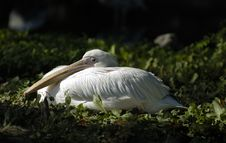 Free White Pelican Rest And Look Royalty Free Stock Images - 3588289